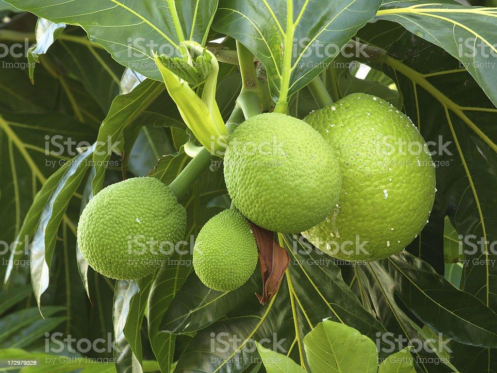 Breadfruit #4 stock photo