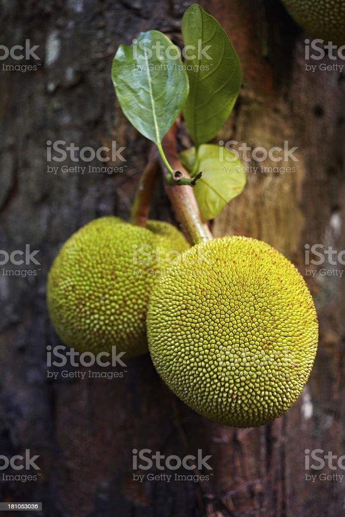 Breadfruit stock photo