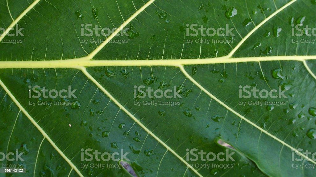 Breadfruit Texture Leaf stock photo