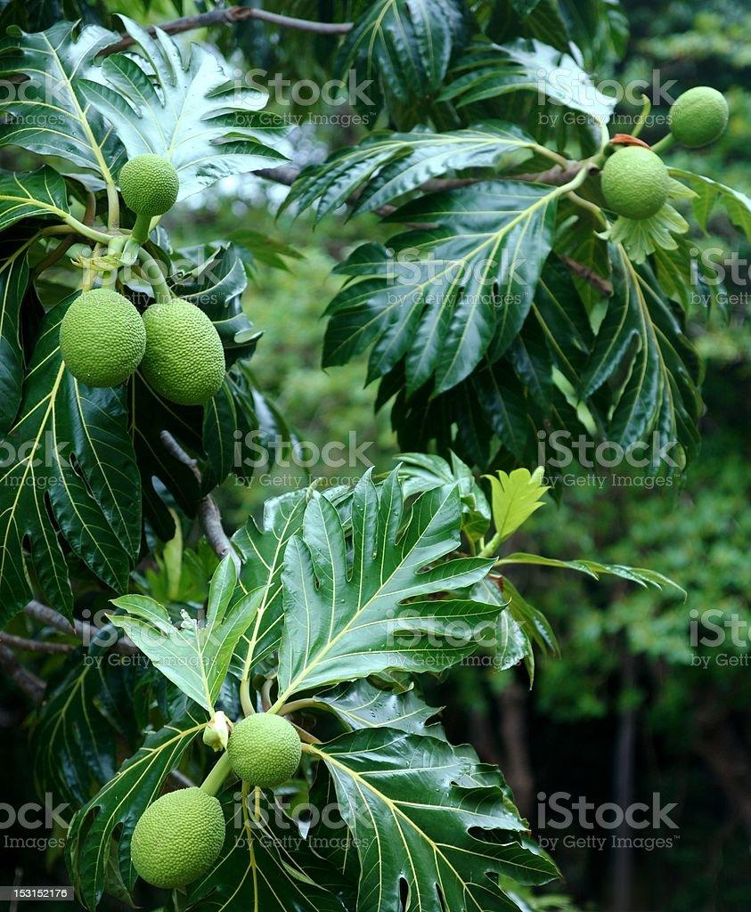 Breadfruit tree stock photo