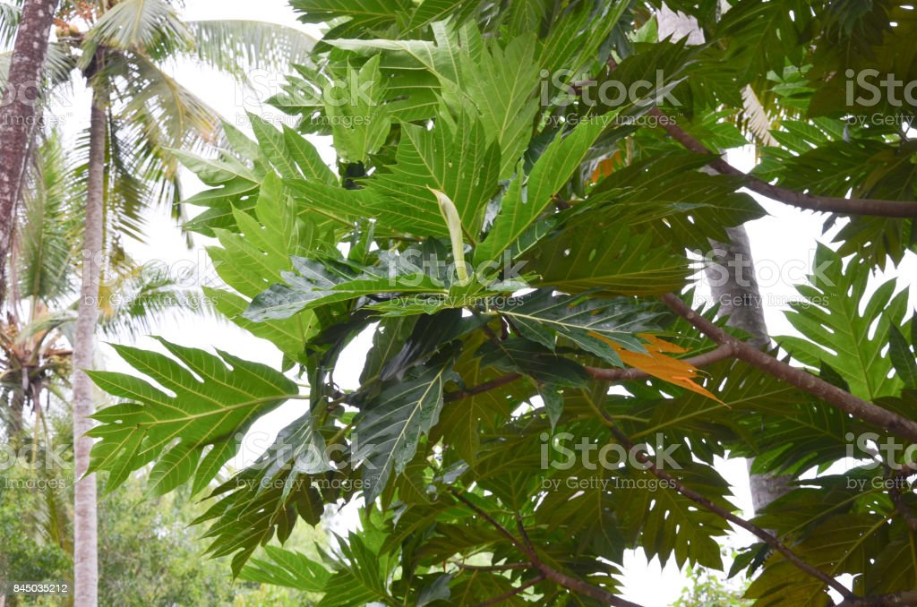 Breadfruit tree with flowers and fruit stock photo