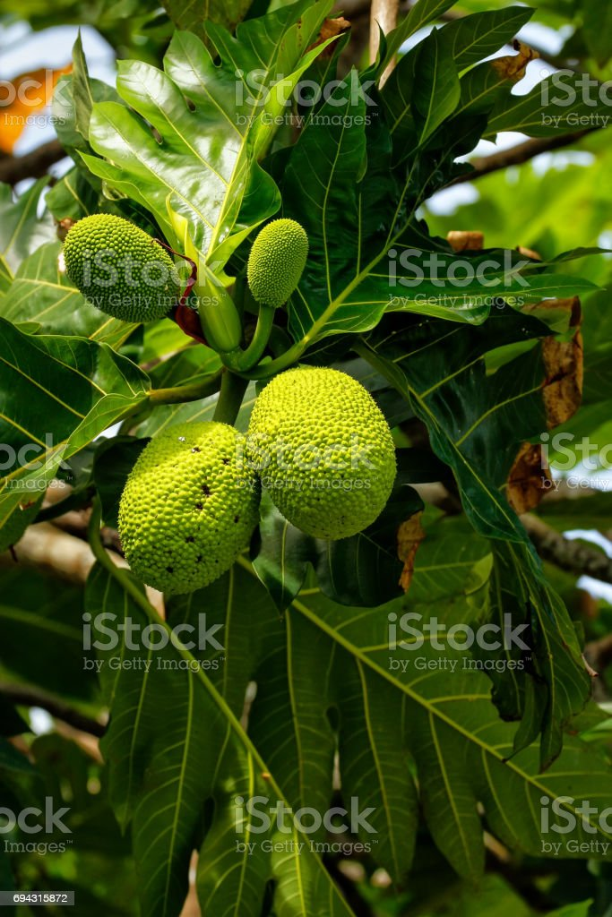 Breadfruit tree with fruits stock photo