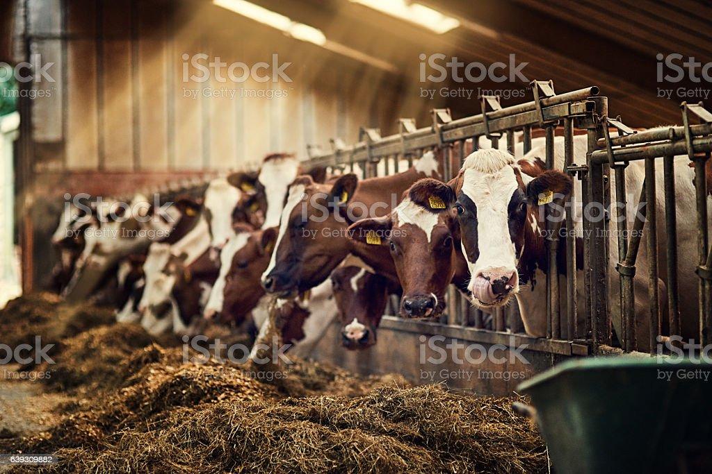 Frühstück wird täglich serviert - Lizenzfrei Agrarbetrieb Stock-Foto