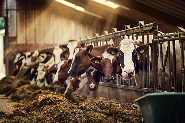 Breakfast is served Shot of a group of cows standing inside a pen in a barn ranch stock pictures, royalty-free photos & images