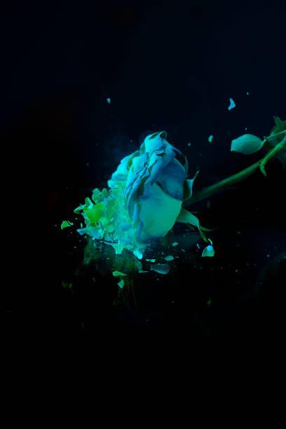 Breaking of frozen rose stock photo