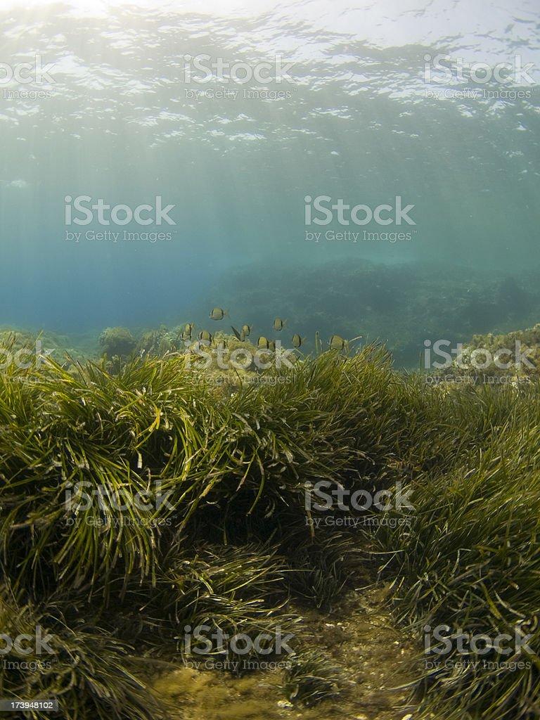 bream & sea grass underwater reef royalty-free stock photo