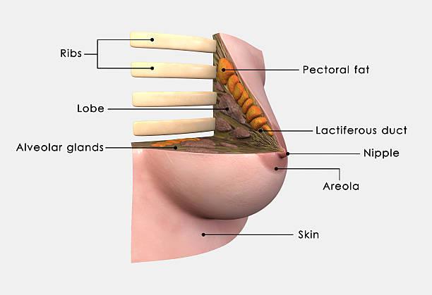 Weibliche Brust – Foto
