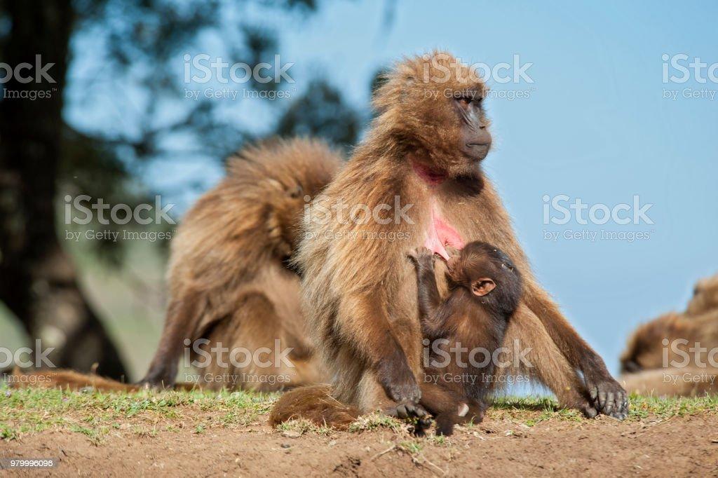 Stillen Gelada Pavian in den Simien-Bergen – Foto