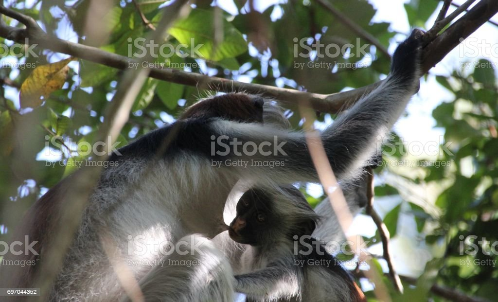 Breastfeeding Red Colobus Monkey Mother with Baby, Jozani Chwaka Bay National Park, Zanzibar, Tanzania, Indian Ocean, Africa stock photo