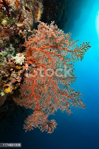 This Gorgonian Coral grows at a fully encrusted rock overhang. There are sponges, ascidians, soft and hard corals, black corals, Hydrozoans and several little fishes like Pygmy Goby and Magenta Dottyback. Palau, Micronesia, 7°6'12.97