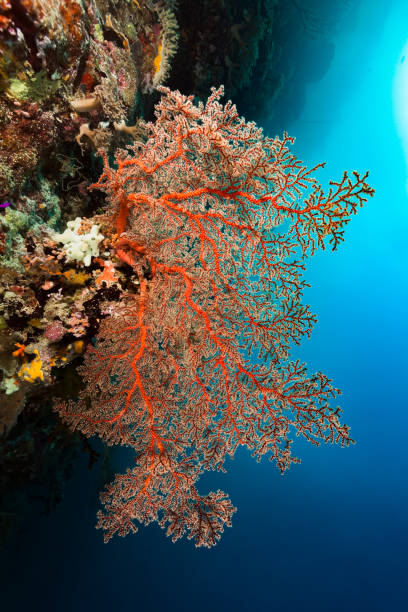 Breathtaking Beauty, Red Gorgonian Coral at Rock Overhang, Palau, Micronesia stock photo