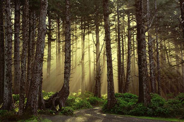 zapierające dech w piersiach lesie piękne złote oświetlone las drzew - wybrzeże północno zachodnie pacyfiku zdjęcia i obrazy z banku zdjęć