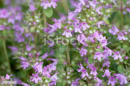 Low mat-forming, faintly aromatic plant; creeping stems rooting at the nodes, the flowering stems ascending, short, hairy all round. Leaves linear to elliptical, scarcely stalked, the lateral veins disappearing towards the apex. Flowers purple or pinkish, 6-7mm long, in rounded heads.