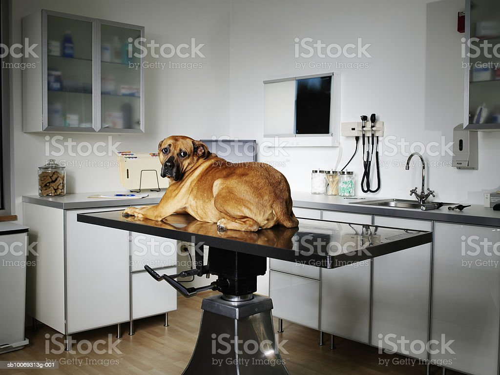 Bred dog sitting on exam table in veterinarian exam room Lizenzfreies stock-foto