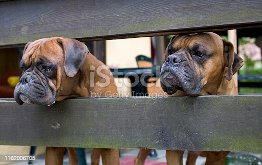 beautiful brown head dog breeder boxer looking through a wooden fence