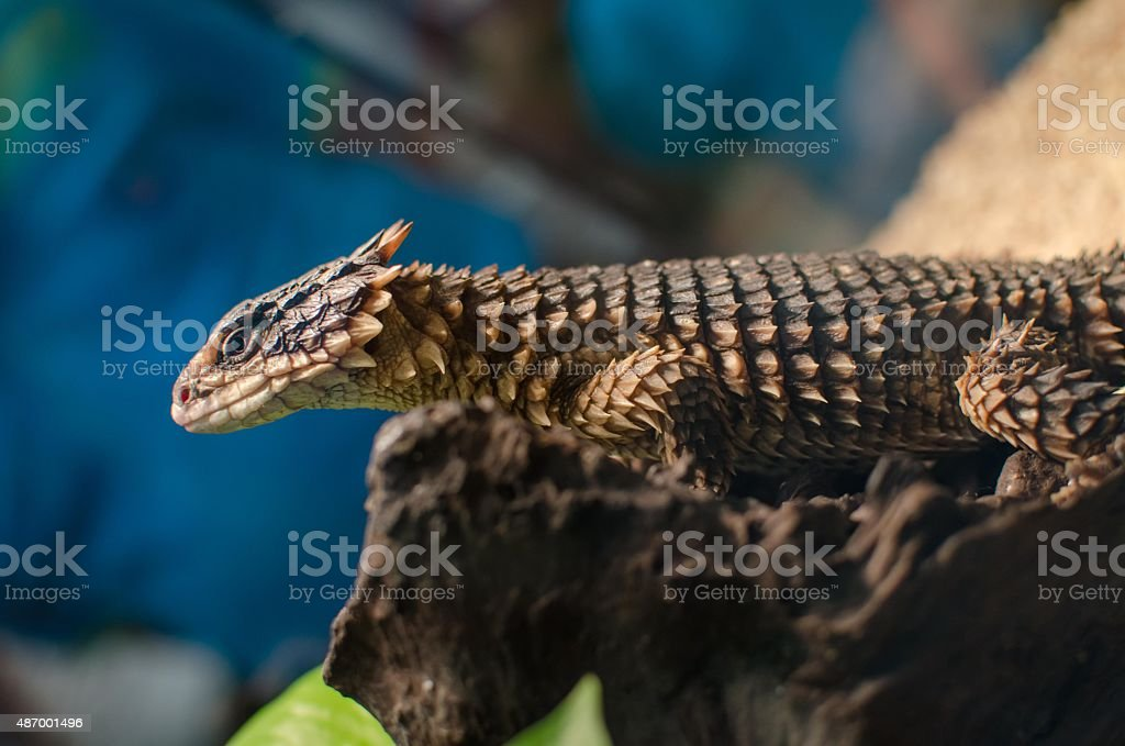 Breed dragon on log stock photo