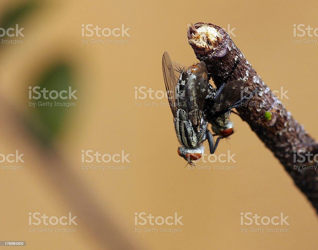 Breed Fly royalty-free stock photo