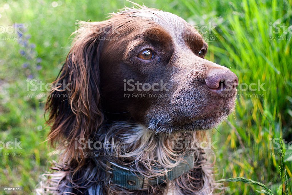Raza de perro Spaniel bretón - foto de stock