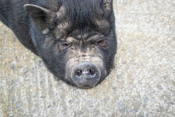 zucht und tiere konzept. - pig ugly stock-fotos und bilder