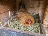 A brown hen is breeding in a wooden box filled with hay.