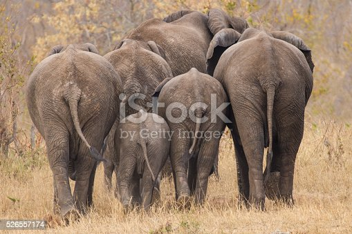 istock Breeding herd of elephant walking away int the trees 526557174