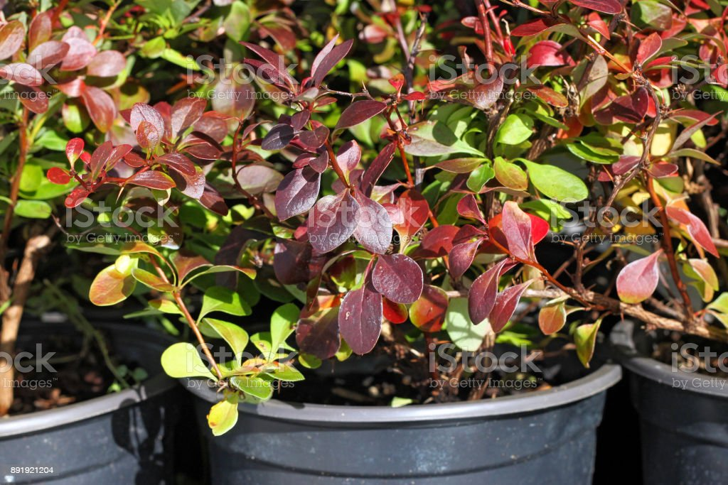 Breeding of ornamental barberry. stock photo