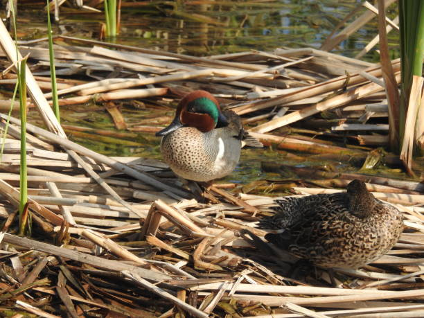 Breeding Pair of Green-winged Teals in the Reeds stock photo