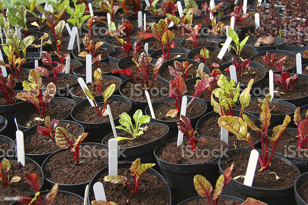 Breeding red beet plants royalty-free stock photo