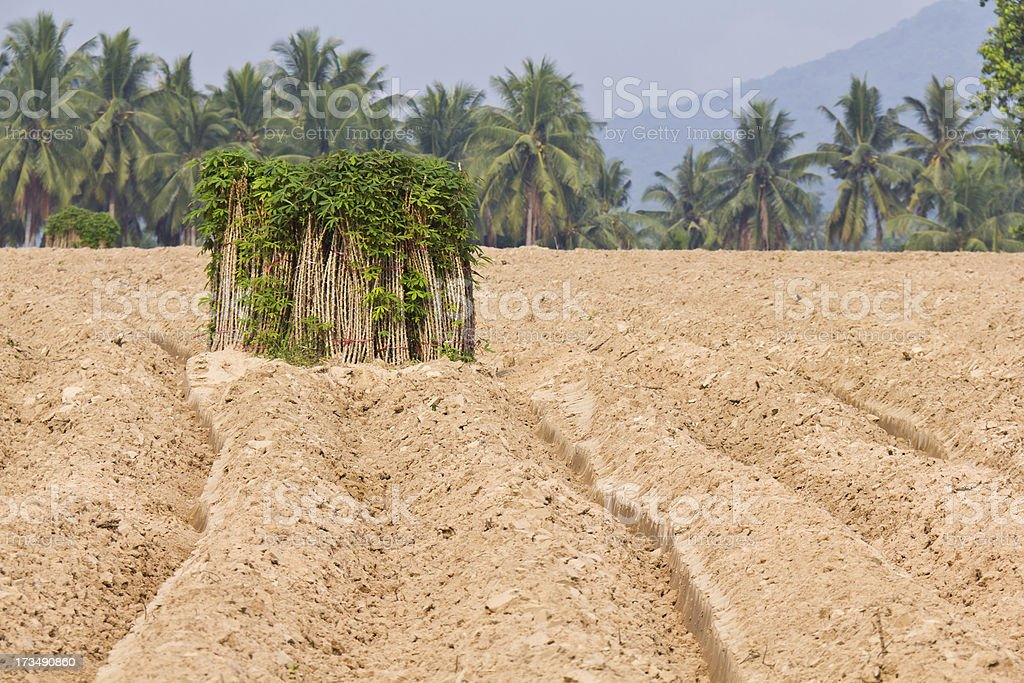 Breeding sapling of cassava and soil cultivation royalty-free stock photo