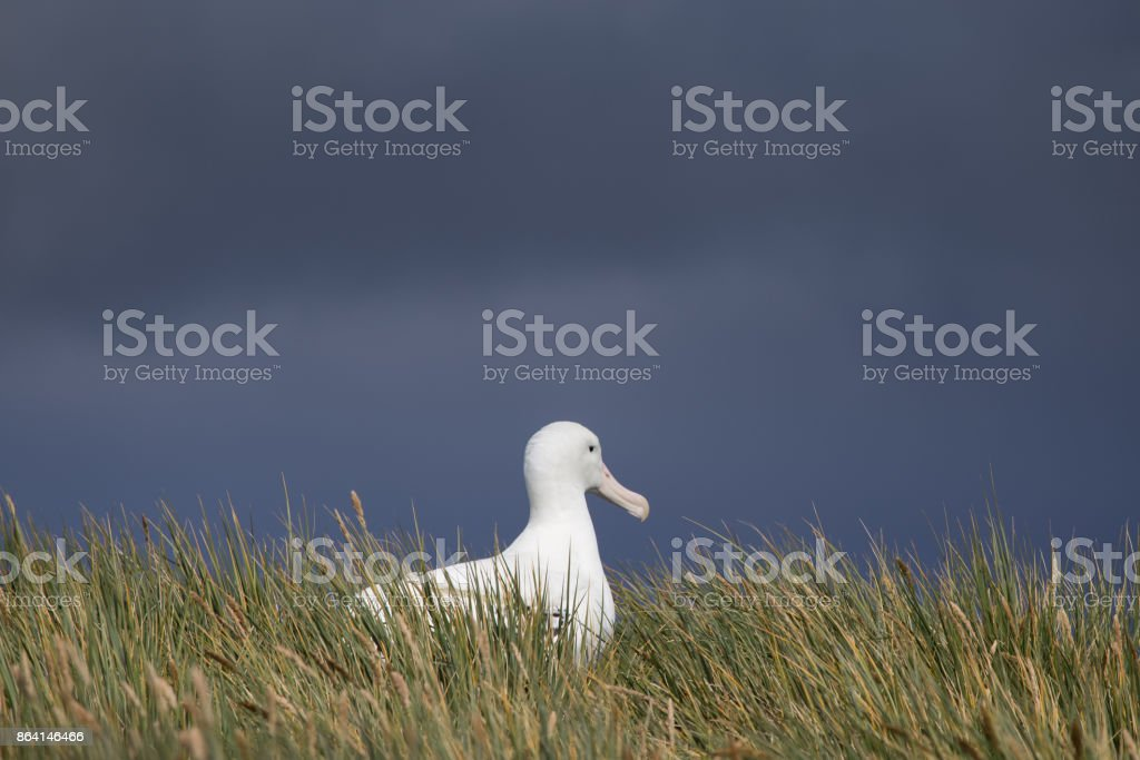 A breeding wandering albatross at Prion Island, South Georgia. royalty-free stock photo
