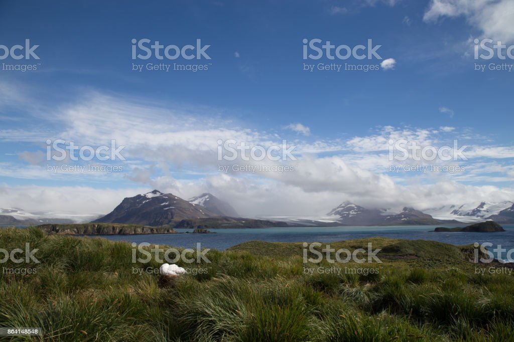 A breeding wandering Albatross on South Georgia, The landscape of the Bay of Isles from Prion Island royalty-free stock photo