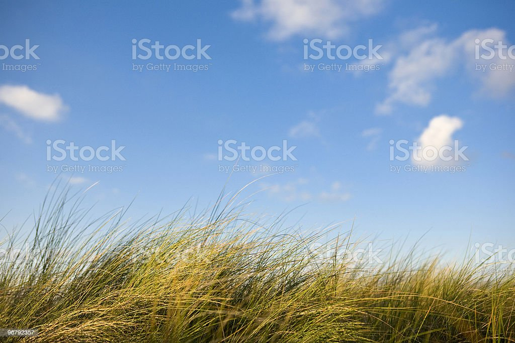 Breezy Grass Reeds royalty-free stock photo