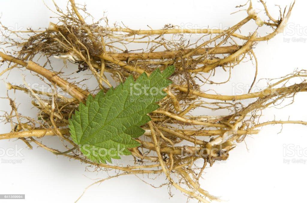 Brennnessel; Nettle; Urtica dioica; Big nettle, roots stock photo
