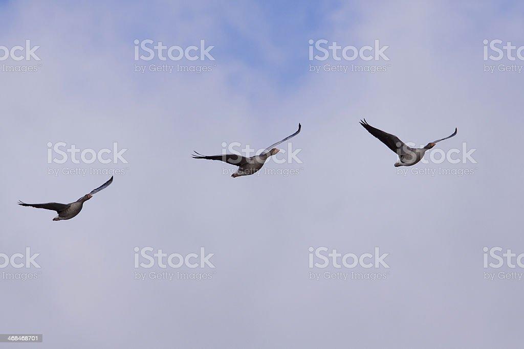 Brent goose in flight stock photo