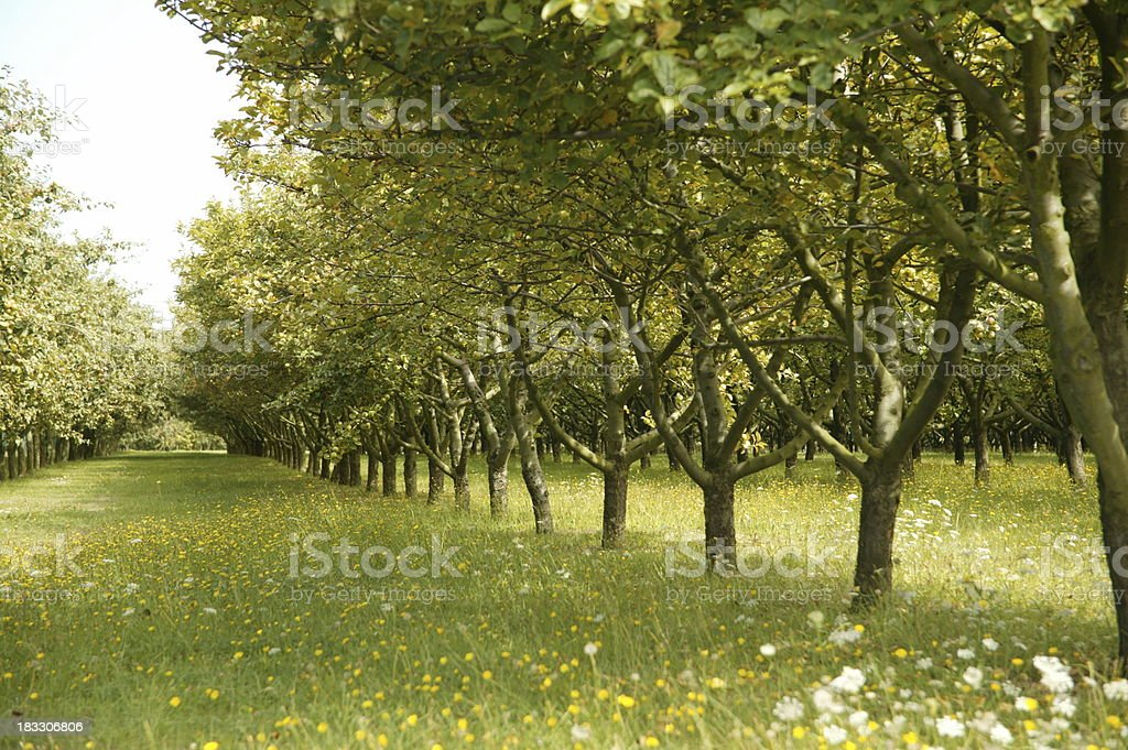 breton apple orchard royalty-free stock photo