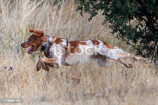 Breton Spaniel dog running through the field