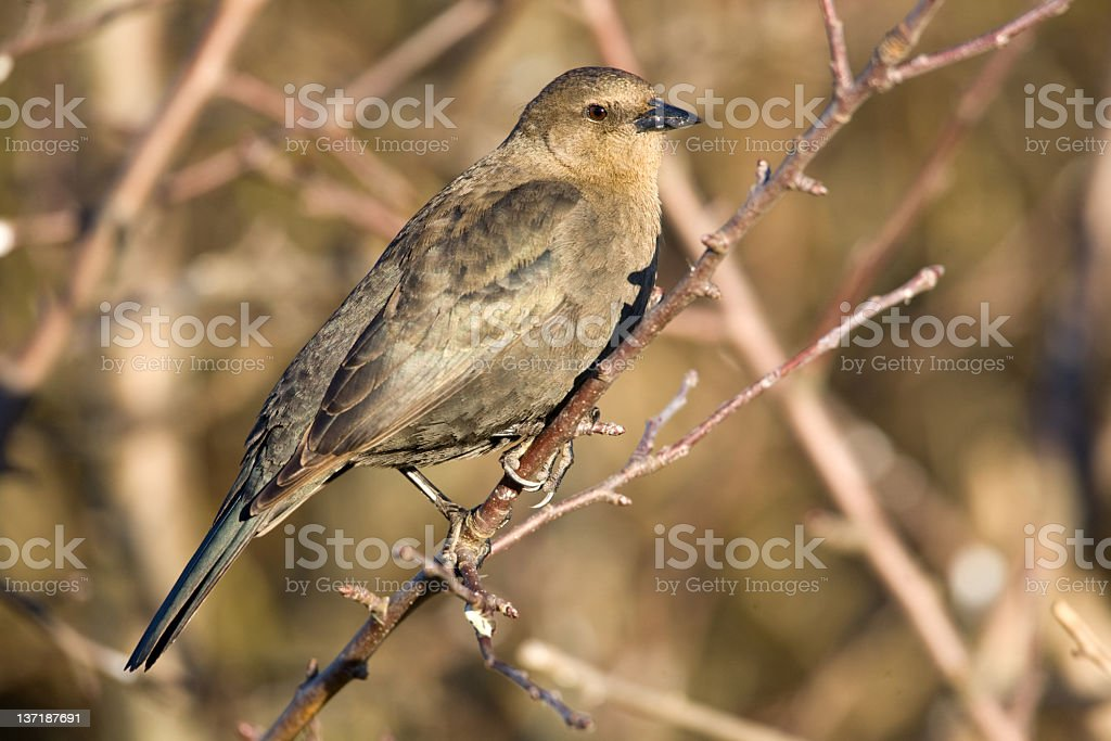 Brewer's Blackbird - Female royalty-free stock photo