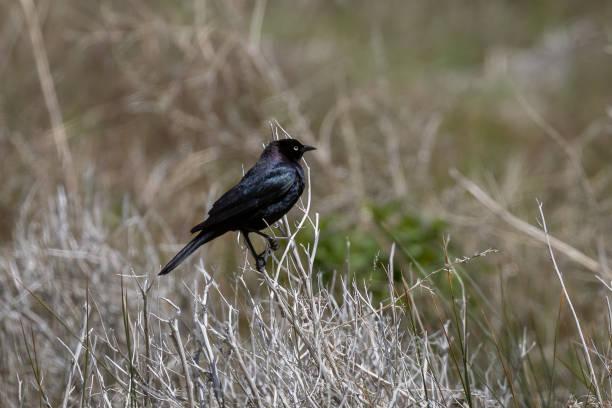 Brewer's Blackbird (Euphagus cyanocephalus) stock photo