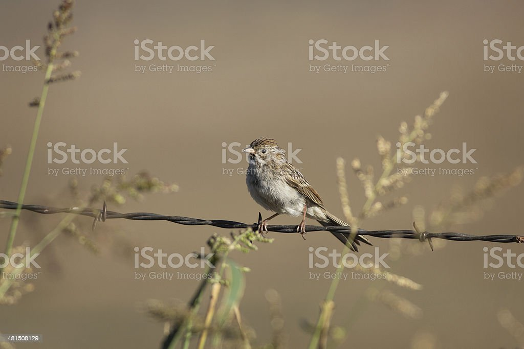 Brewer's Sparrow royalty-free stock photo