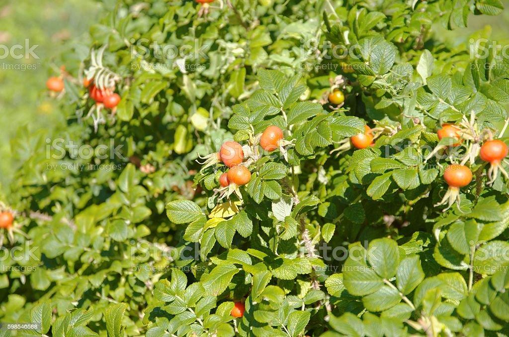 Briar fruits photo libre de droits