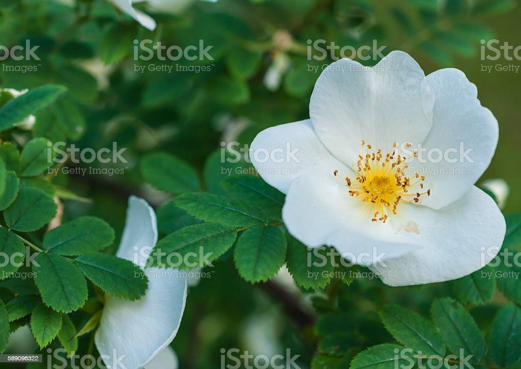 rose. Open flower, white rose and green leaves Bush