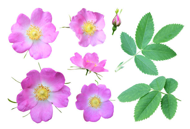 A briar set Set of flowers, leaves and buds of dog rose, isolated on white background. wild rose stock pictures, royalty-free photos & images
