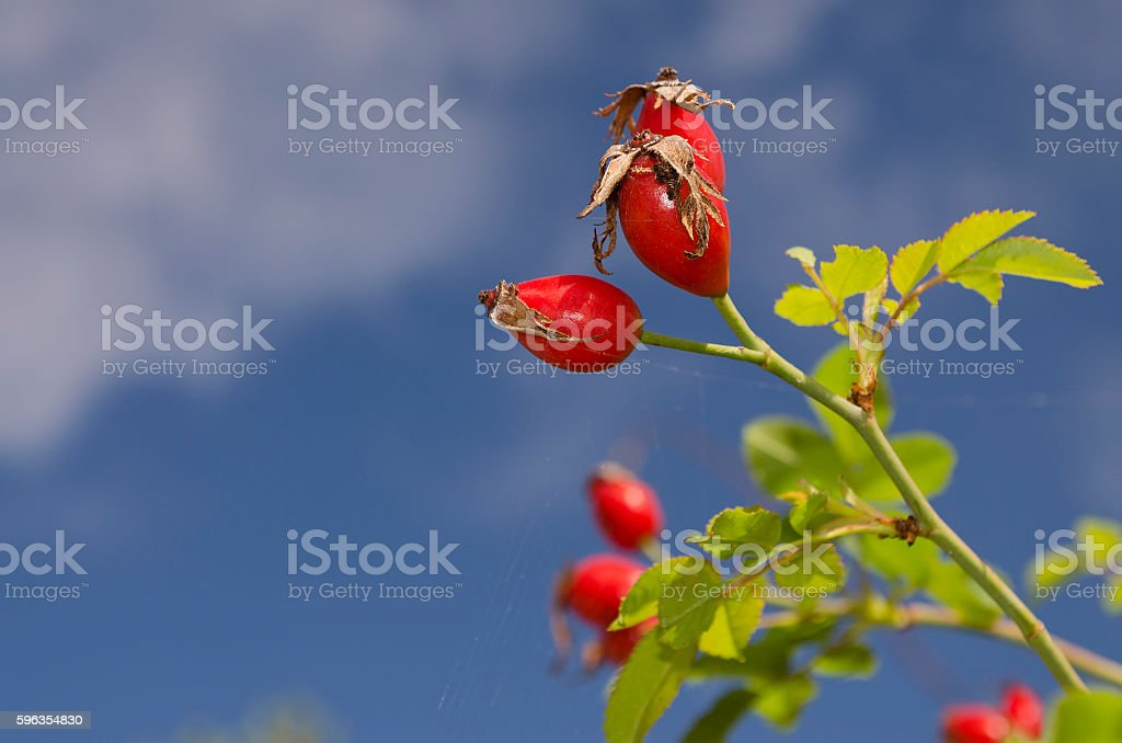 Briar wild rose hip royalty-free stock photo