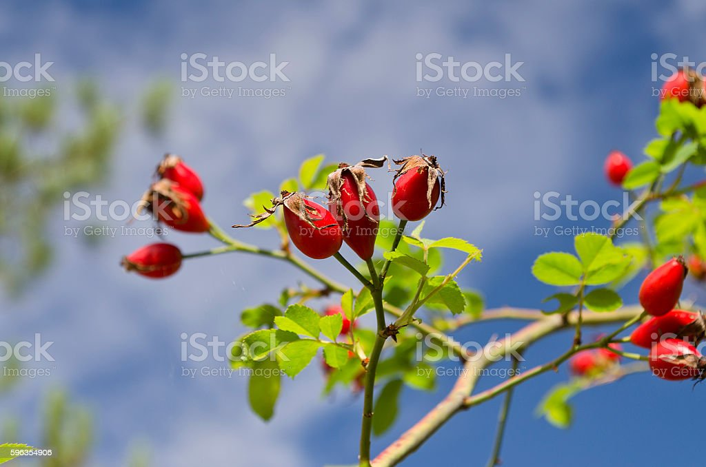 Briar wild rose hip royalty-free stock photo