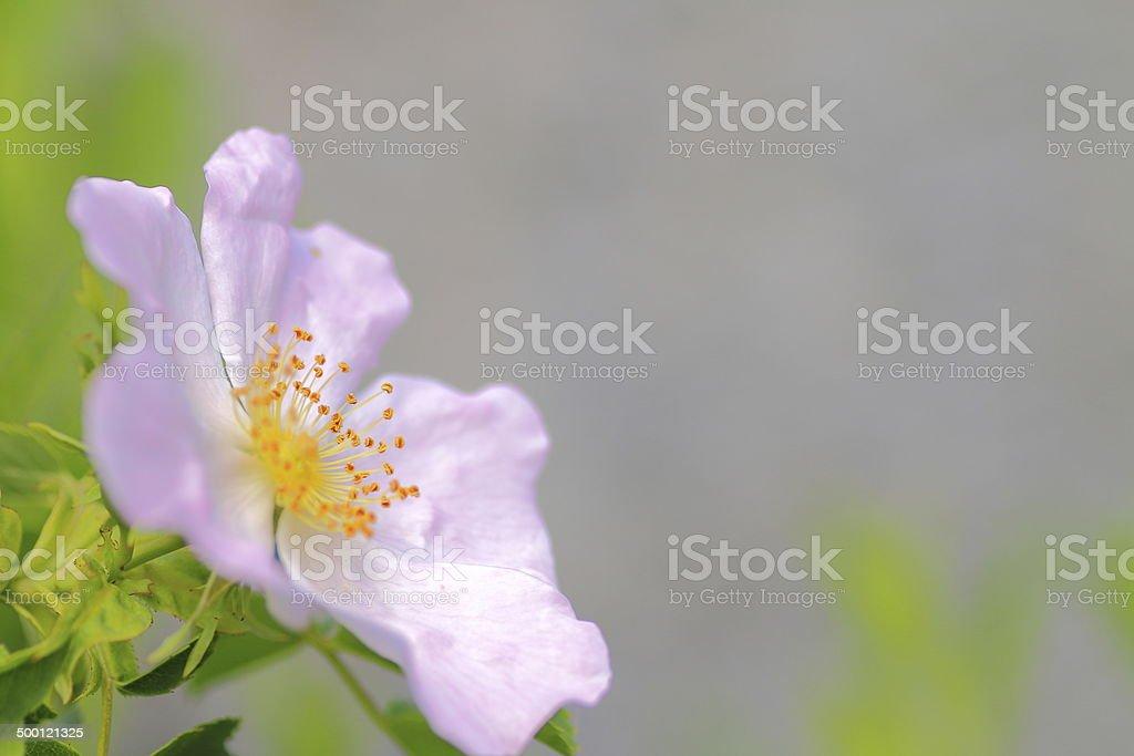 Briar wild rose stock photo