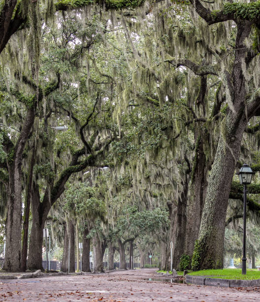 Brick Street and Live Oak Trees with Moss, Savannah GA Taken December 2013 southern charm stock pictures, royalty-free photos & images