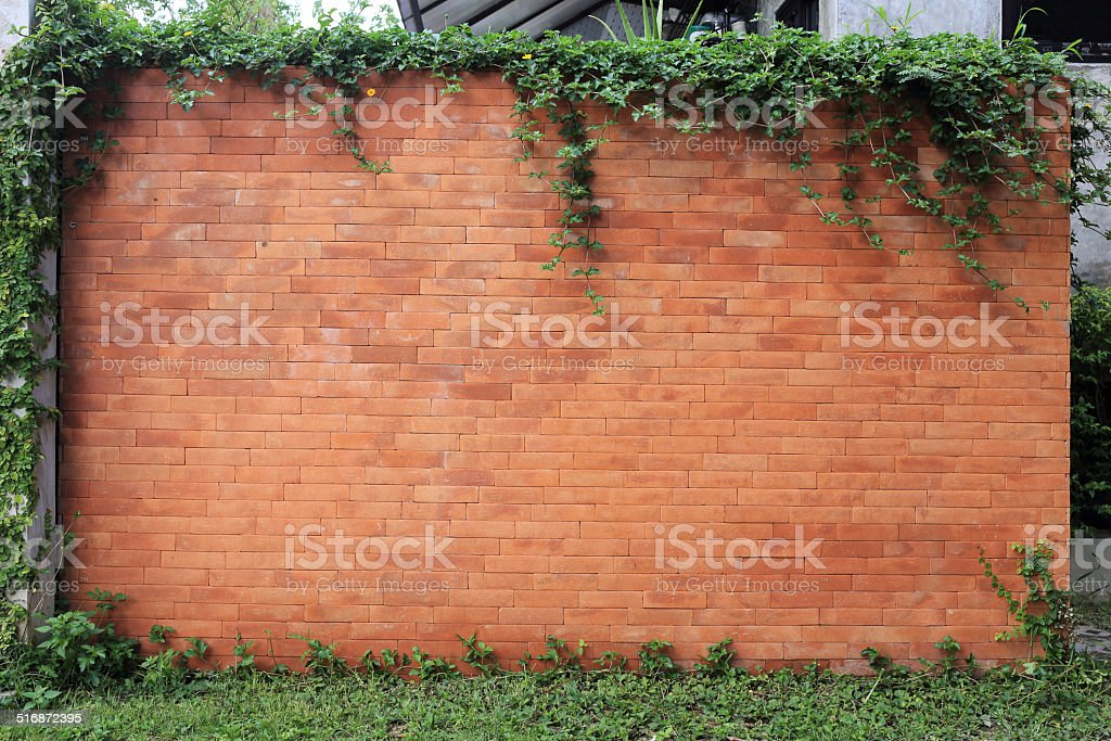 brick wall and green leaf ivy stock photo