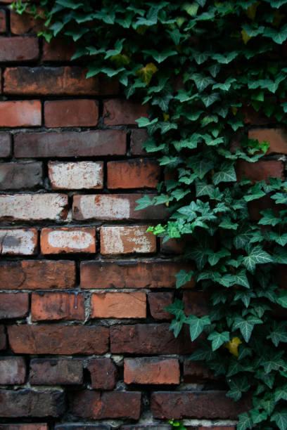 brick wall covered by green climbing ivy plant - ivy building imagens e fotografias de stock