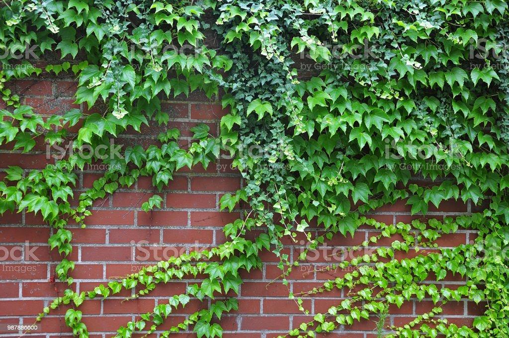 Ziegelmauer, bewachsen mit Wein und Efeu – Foto