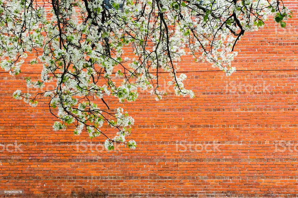 Brick Wall with Spring Blossoms stock photo